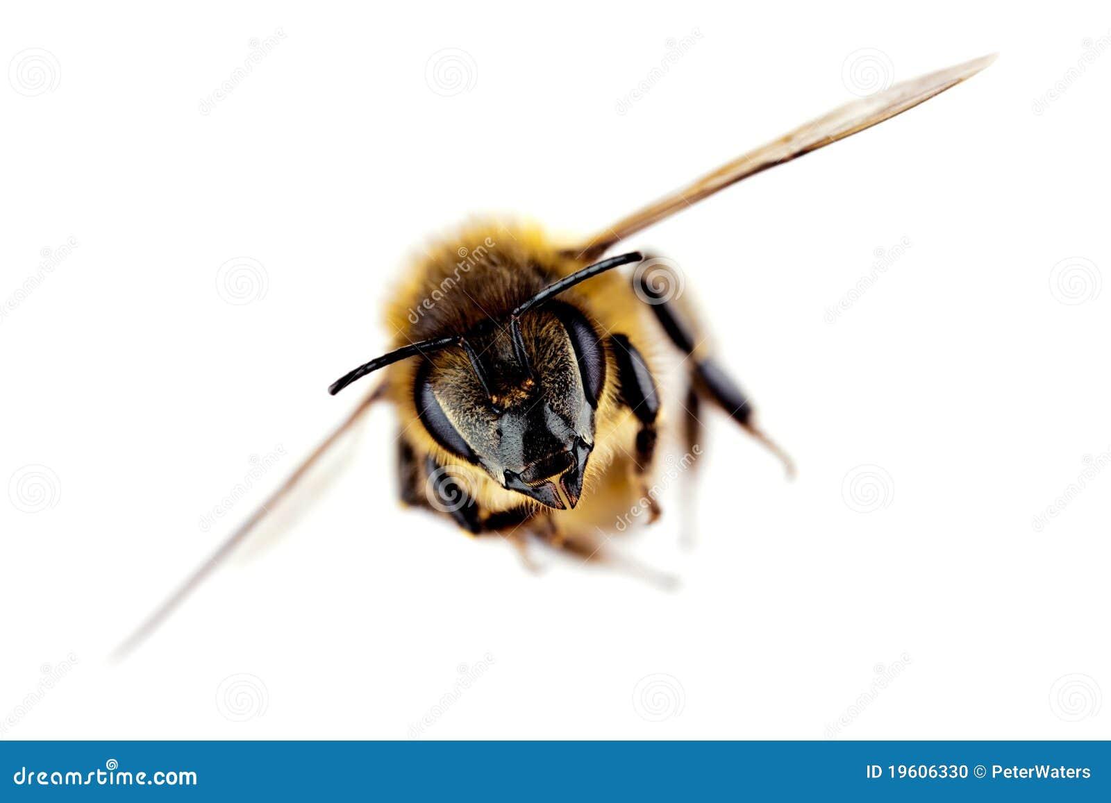 Ape occidentale del miele durante il volo