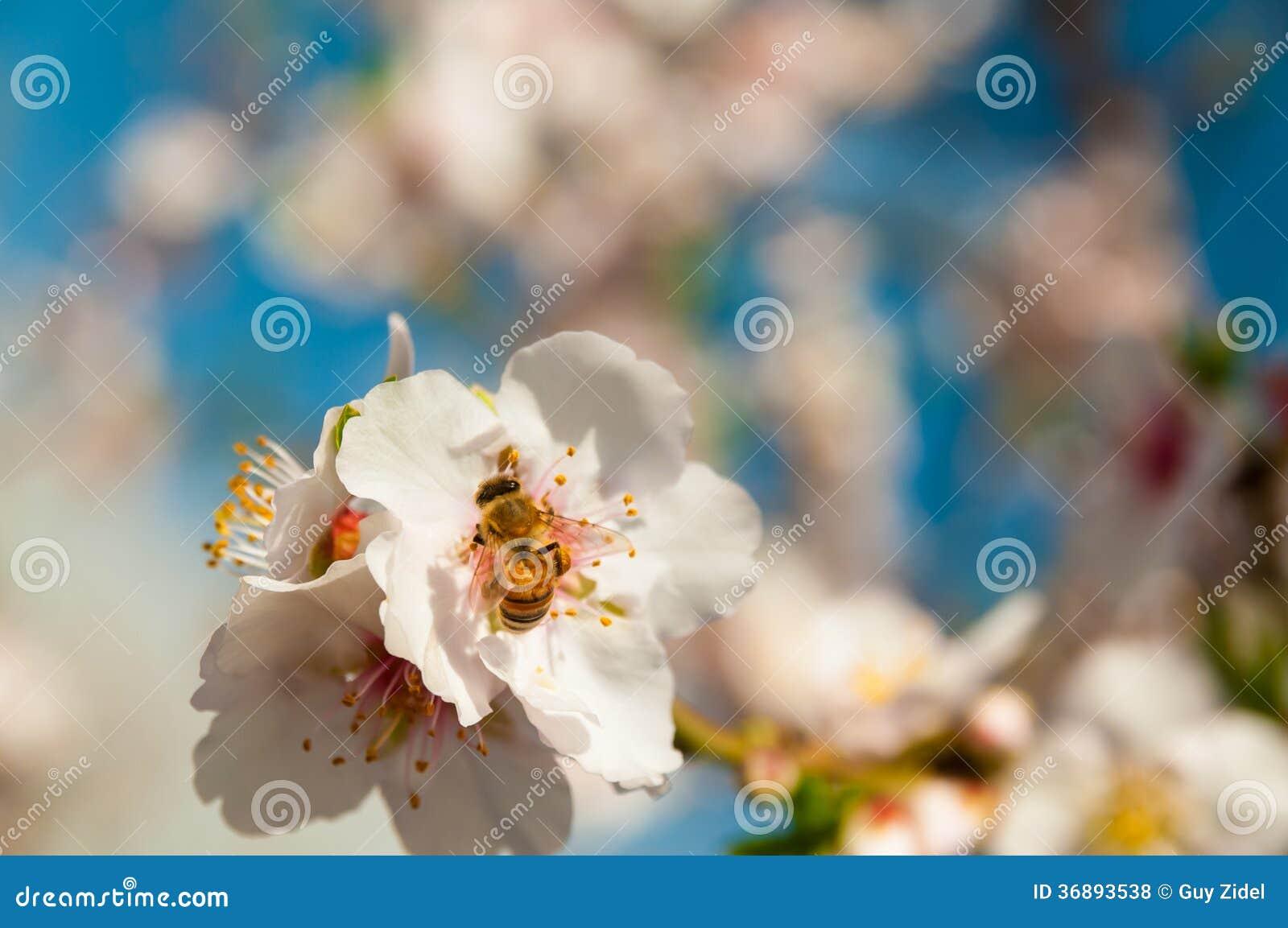 Download Ape Sui Fiori Della Molla Della Mandorla Fotografia Stock - Immagine di people, background: 36893538