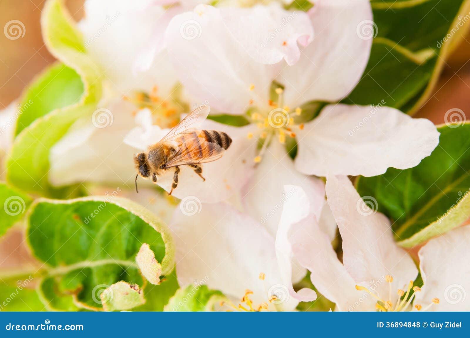 Download Ape Sui Fiori Della Molla Della Mela Fotografia Stock - Immagine di mela, inizio: 36894848