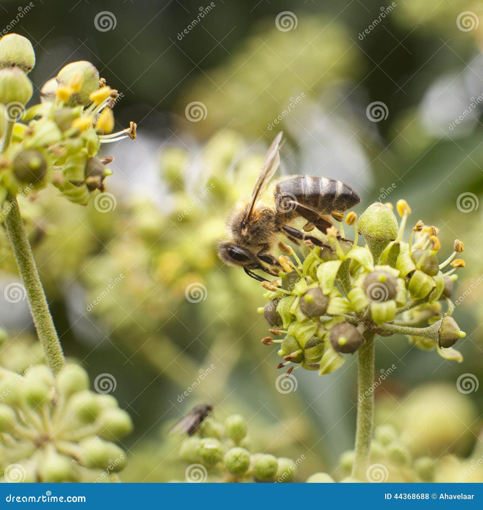 Ape sul fiore del hedera