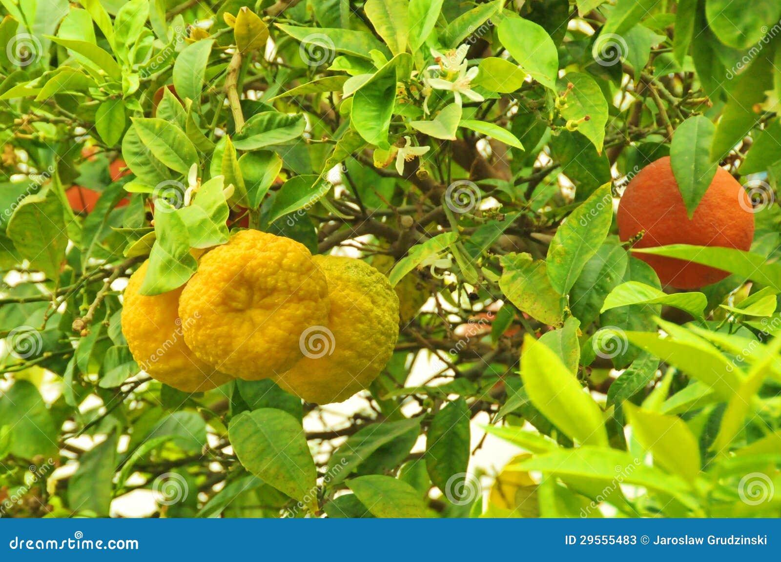 Apelsiner på en tree