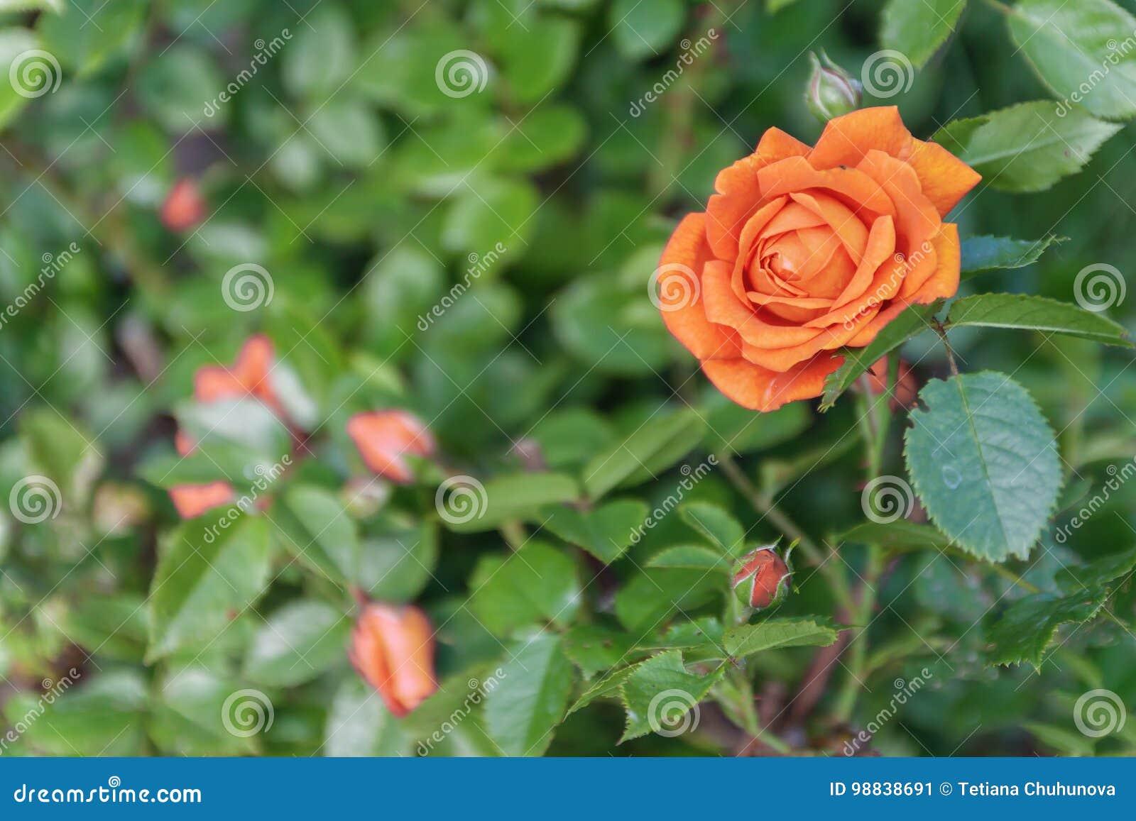 Apelsinros på en buske, bästa sikt
