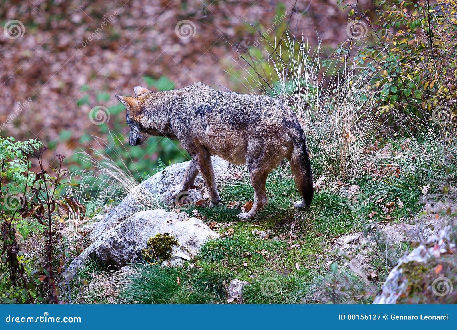Apenninewolf, Canis-wolfszweeritalicus