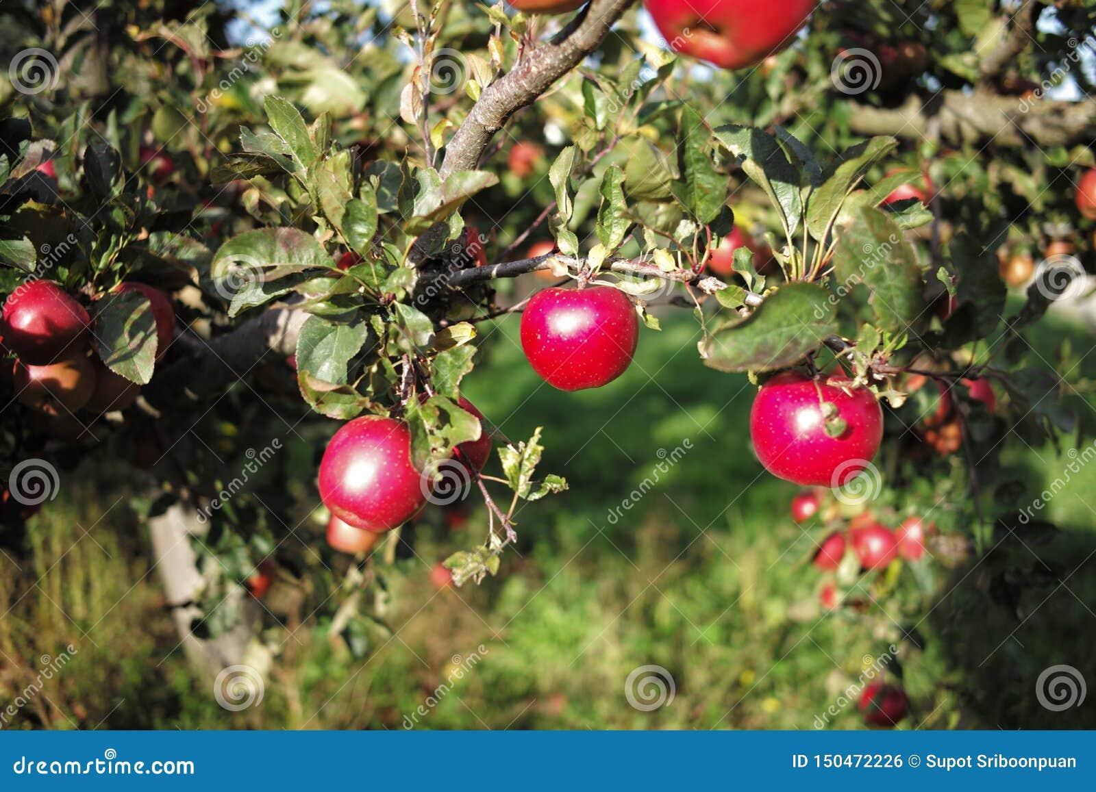 Apfel im Bauernhof