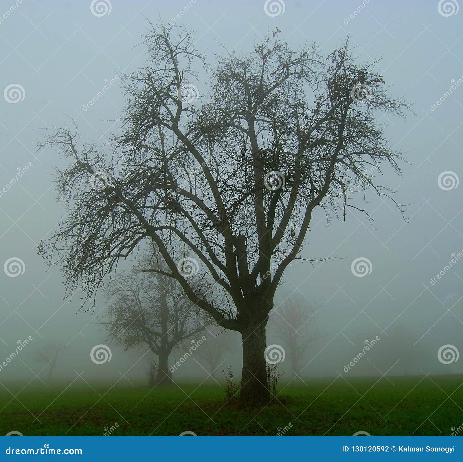 Apfelbäume im Nebel