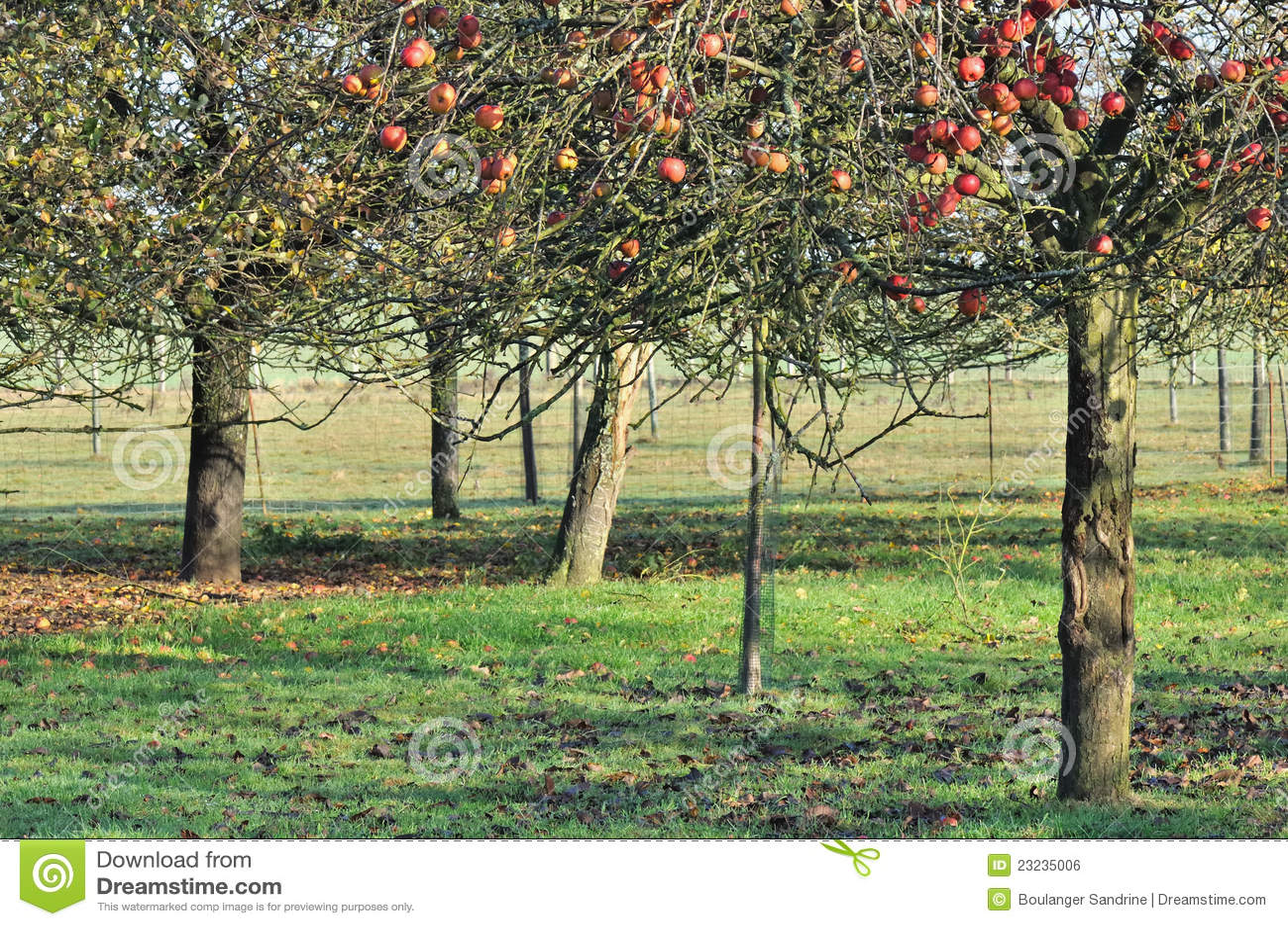 apfelbaum im herbst stockfoto bild von landwirtschaft. Black Bedroom Furniture Sets. Home Design Ideas