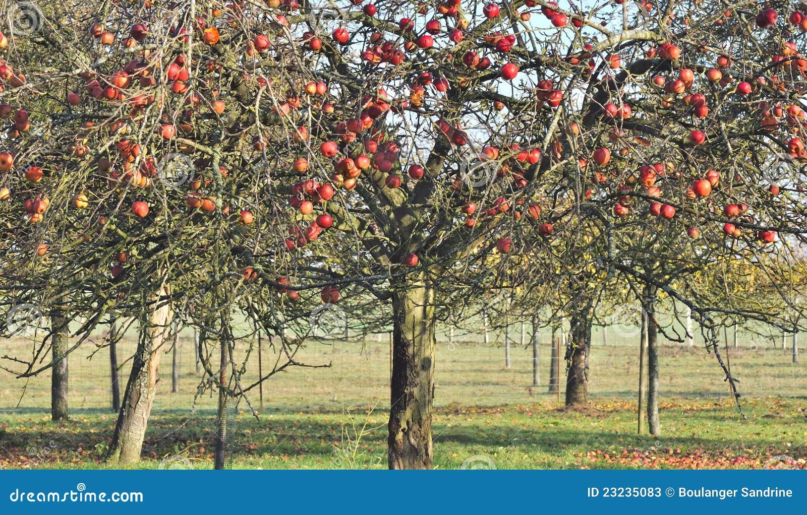 apfelbaum im herbst stockbild bild von fall twigs zweige 23235083. Black Bedroom Furniture Sets. Home Design Ideas