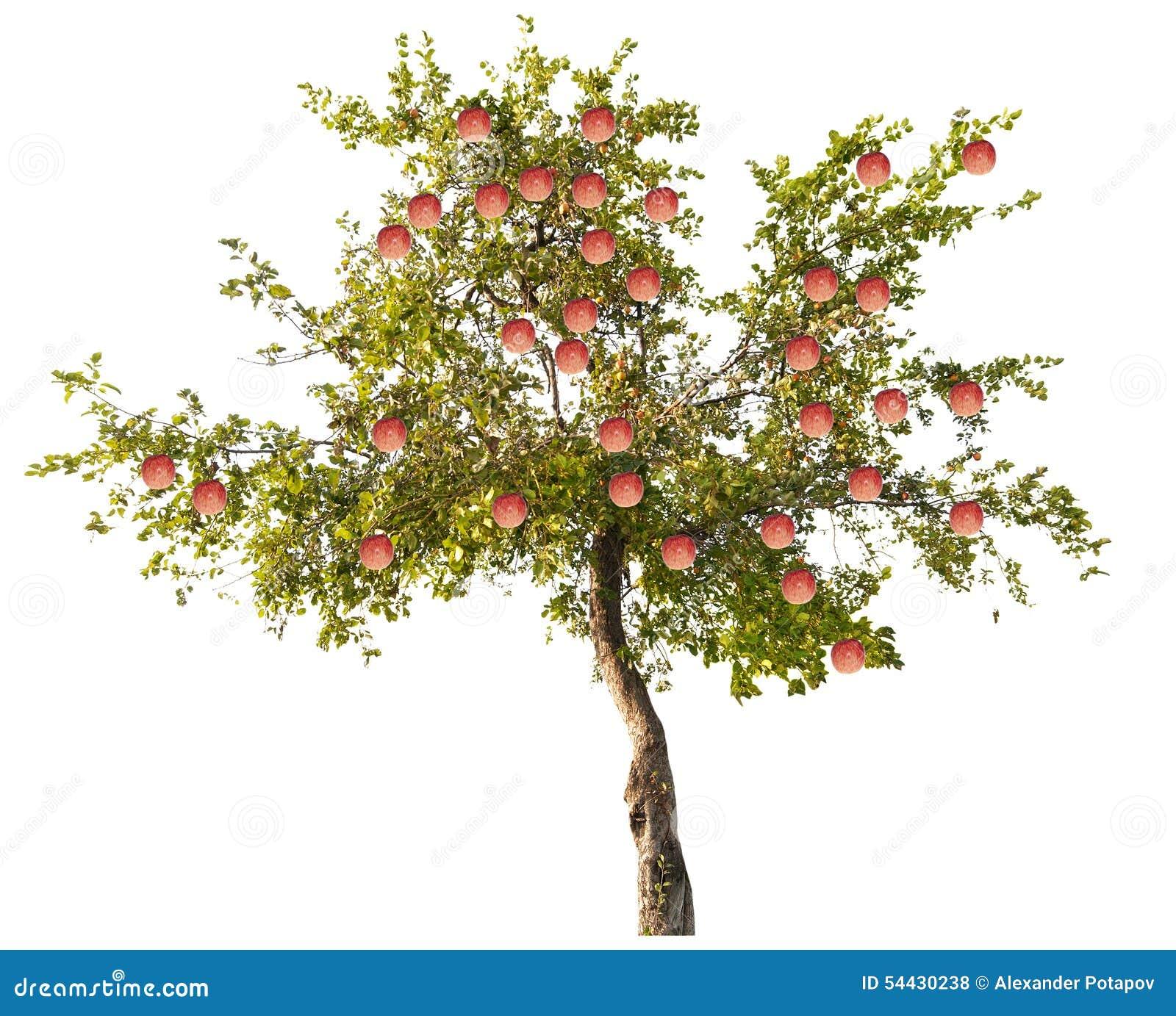 apfelbaum mit gro en rosa fr chten auf wei stockfoto bild 54430238. Black Bedroom Furniture Sets. Home Design Ideas