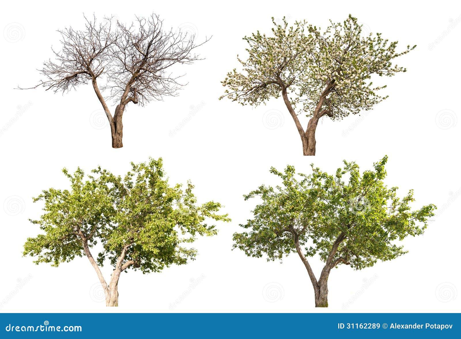 apfelbaum mit vier jahreszeiten lokalisiert auf wei. Black Bedroom Furniture Sets. Home Design Ideas