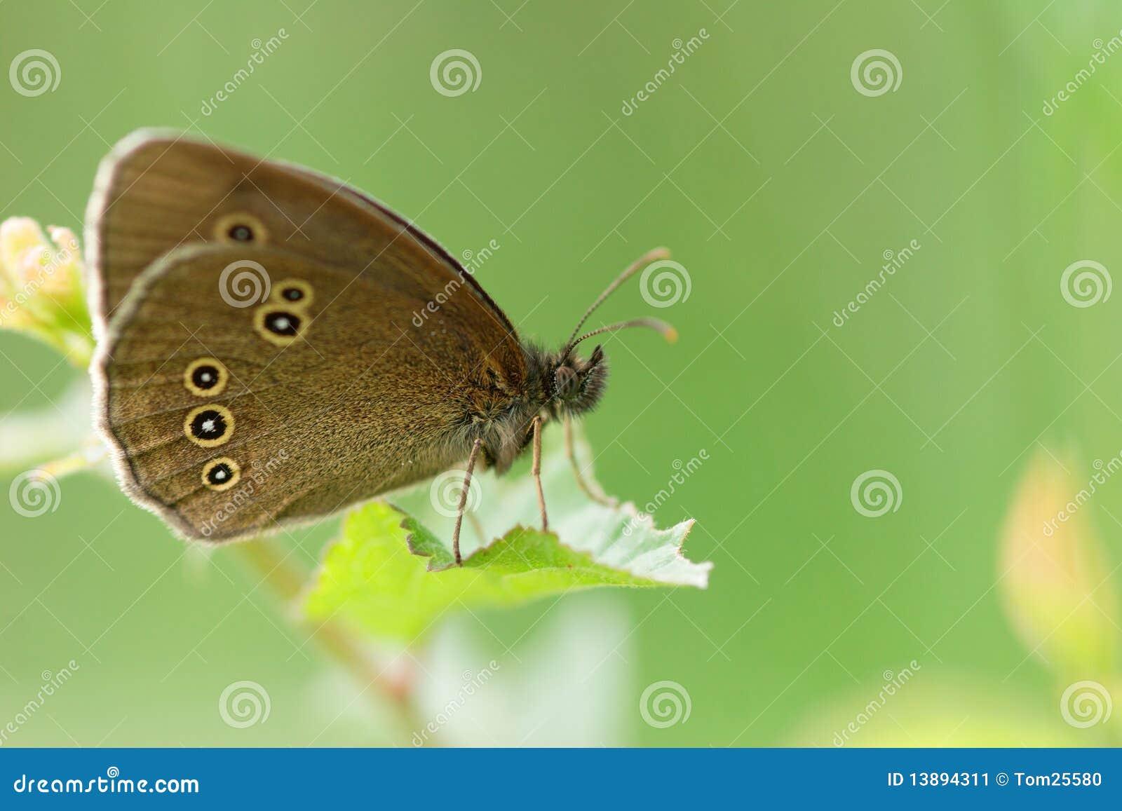 Aphantopus hyperantus liść czekanie