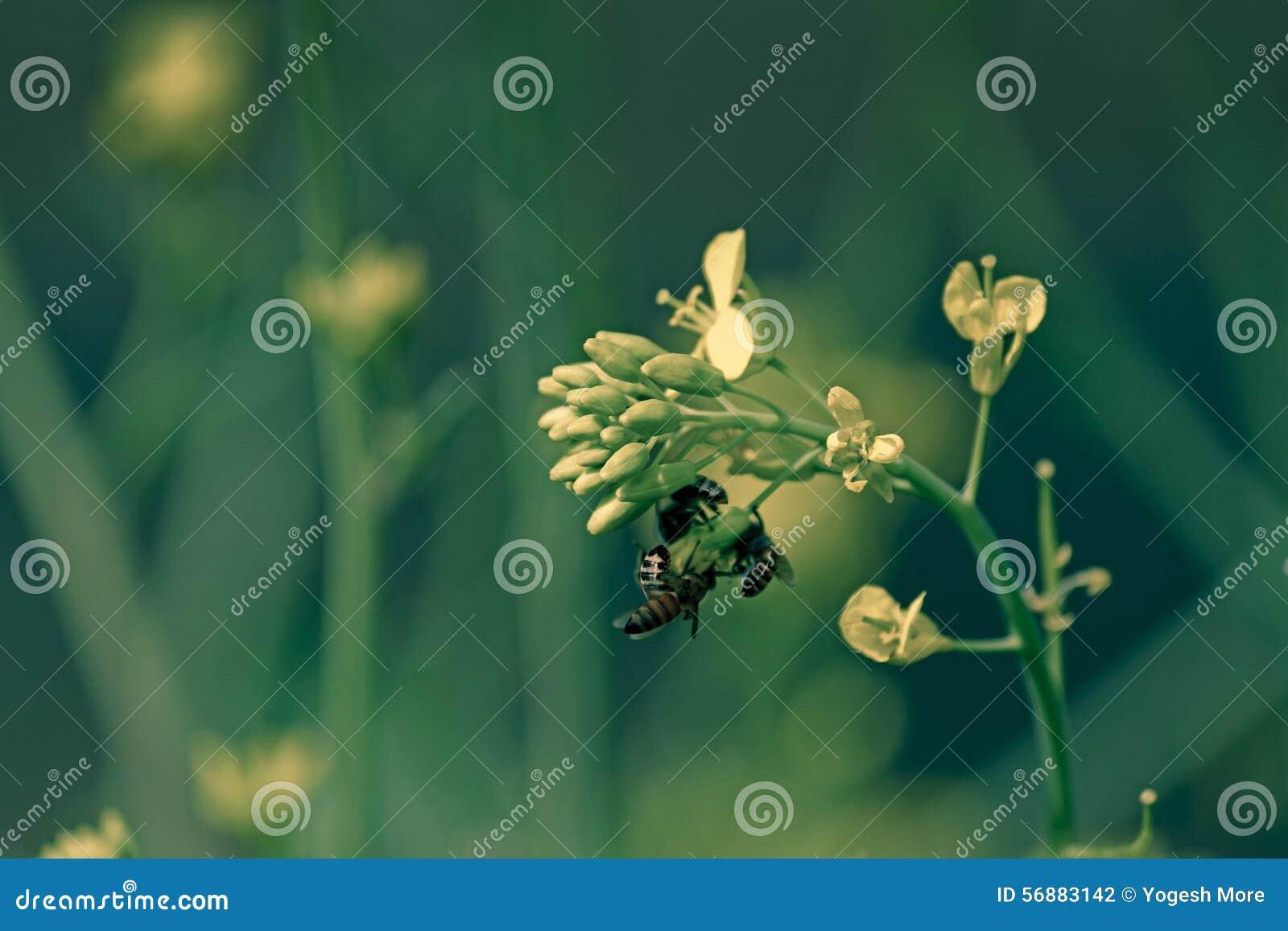 Api del miele, apis mellifera che nectaring
