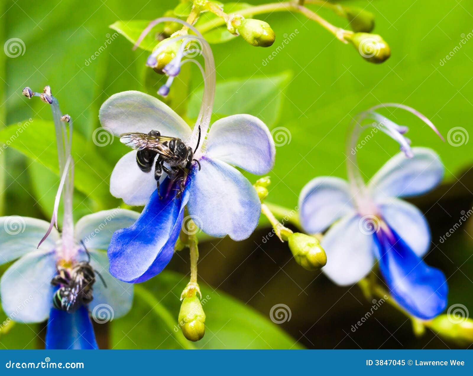 Api di carpentiere sui fiori con la formica immagine stock for Fiori con la p