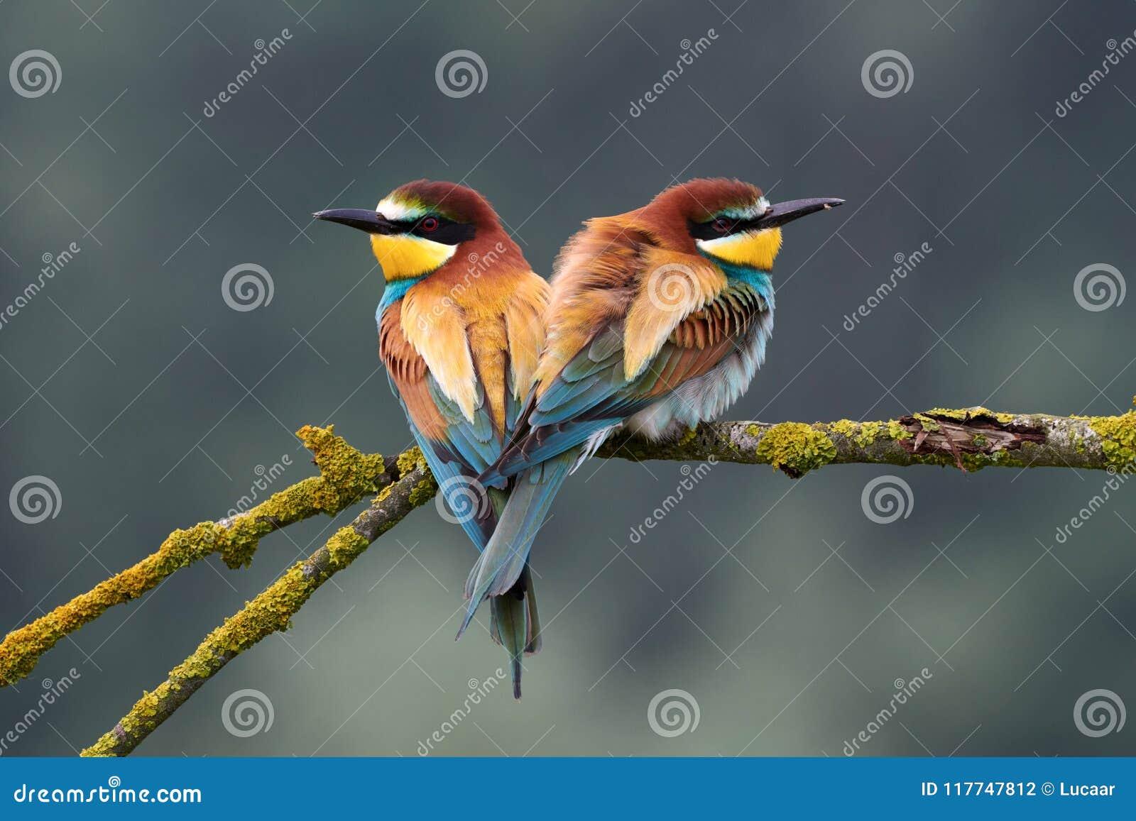 Apiaster del Merops di due bello gruccioni