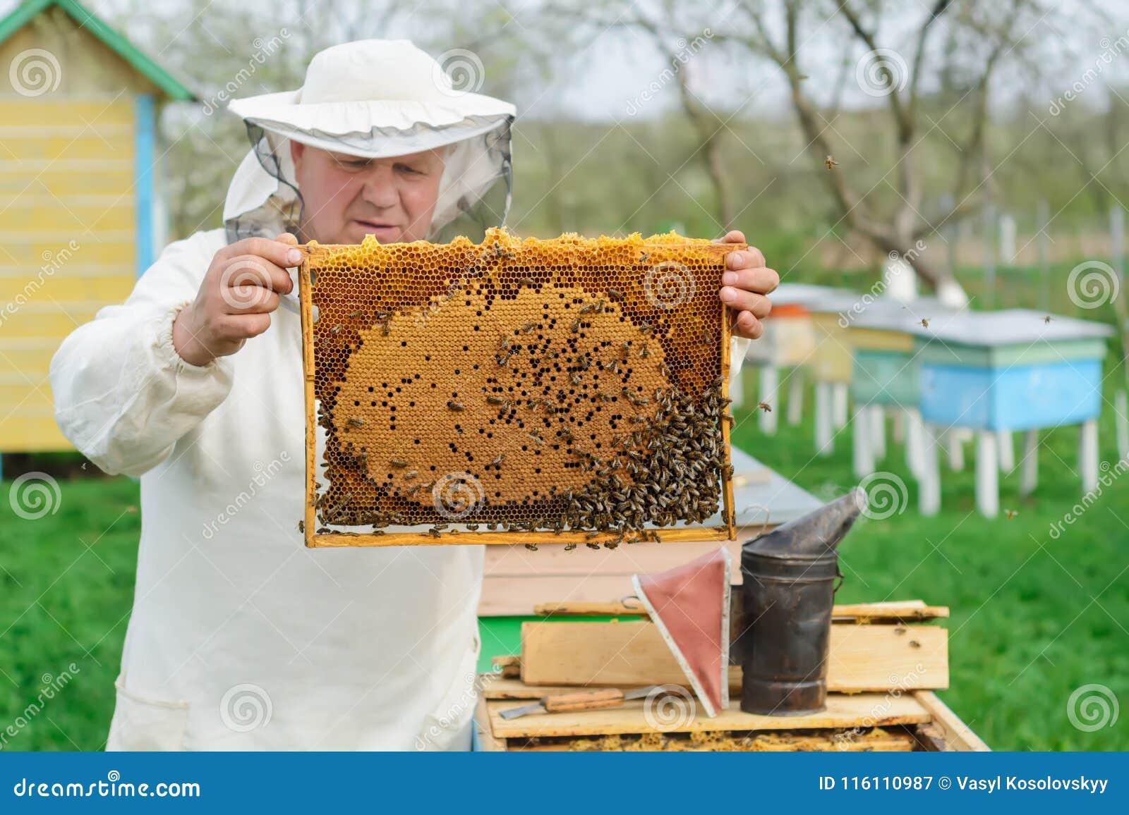 Apicoltore che giudica un favo pieno delle api Apicoltore in abiti da lavoro protettivi che ispezionano la struttura del favo all