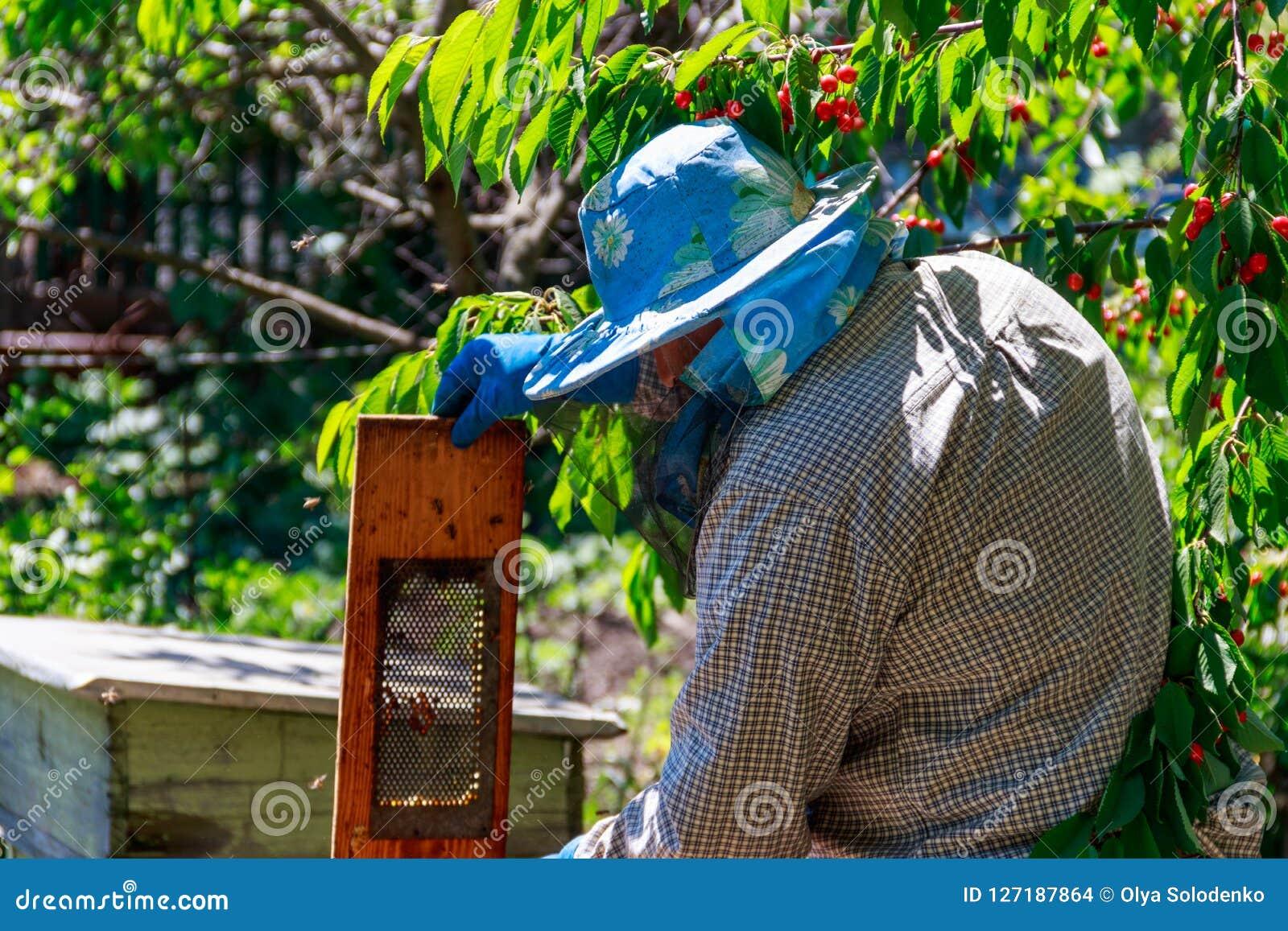 Apicultor que verifica uma colmeia para assegurar a saúde da colônia da abelha ou que recolhe o mel