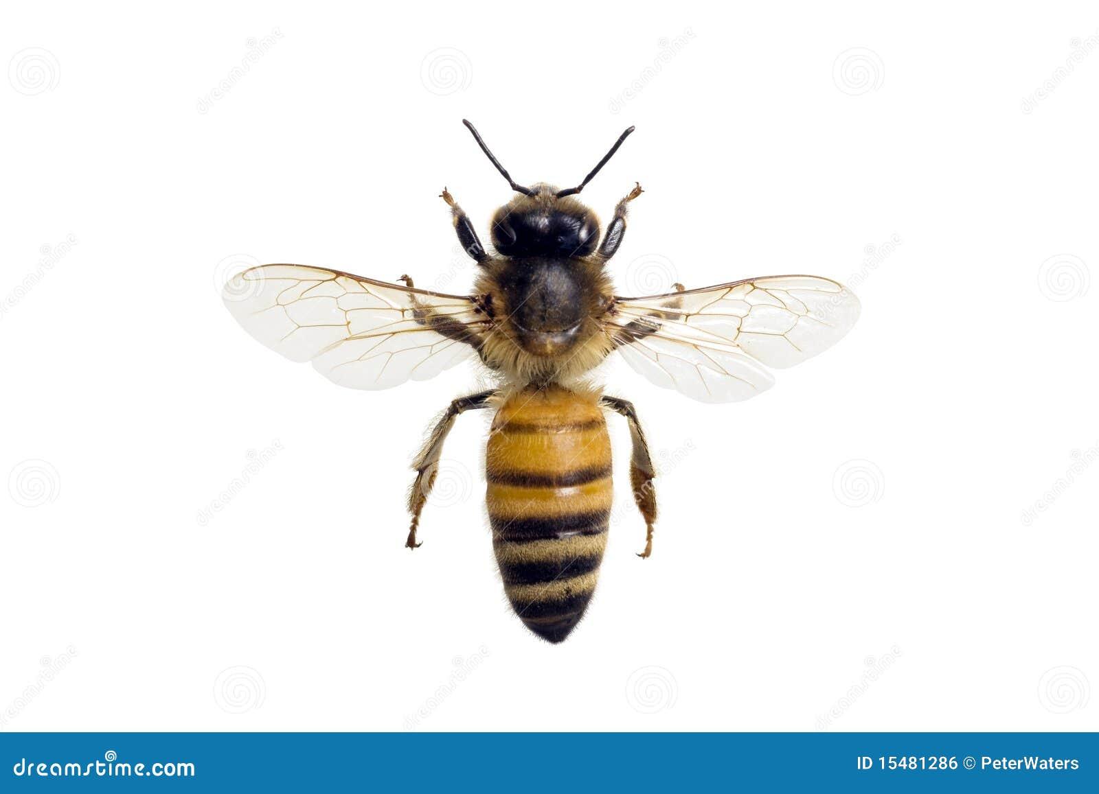 Apis蜂mellifera