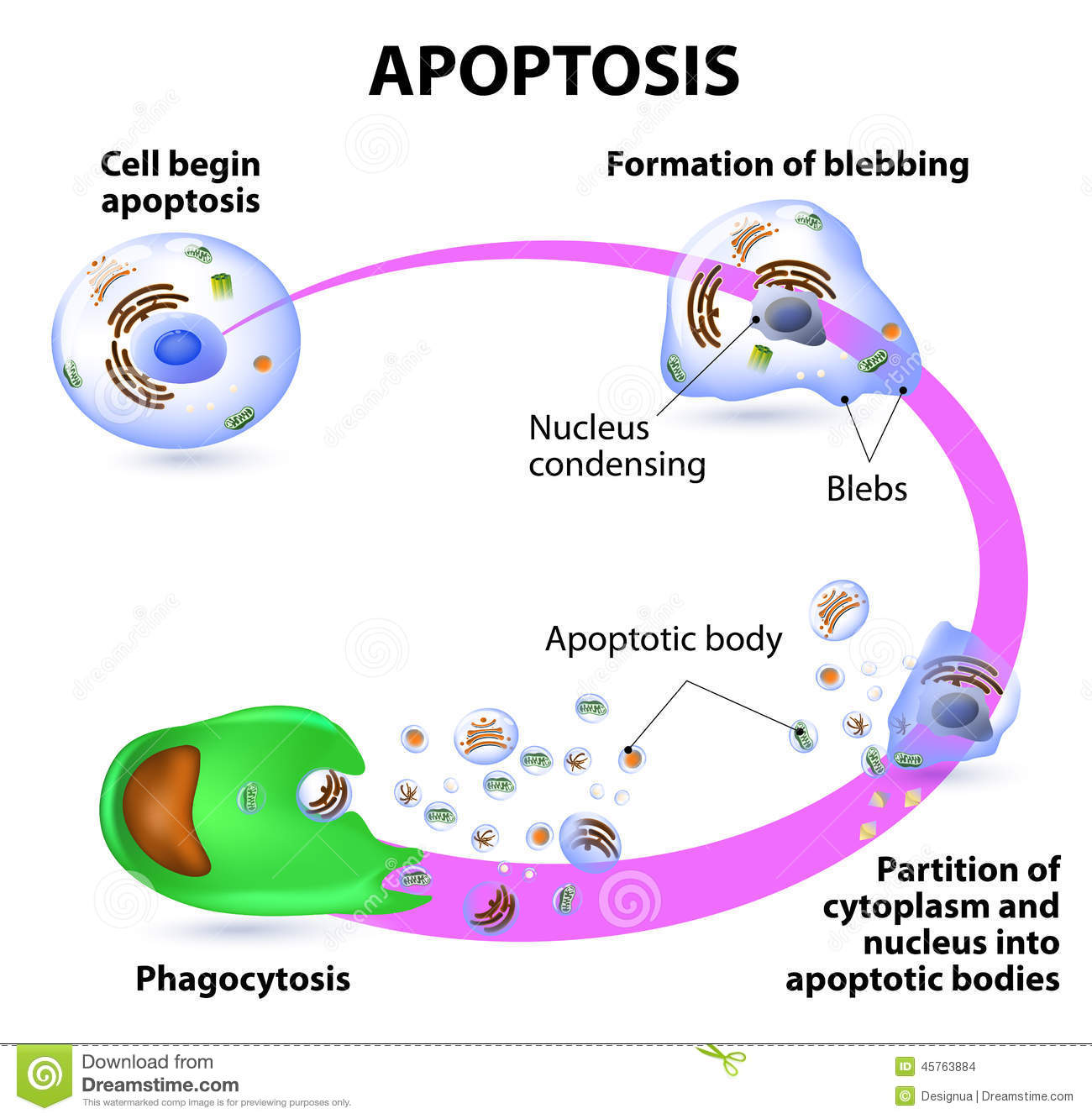 Apoptosis Diagram Simple Experience Of Wiring A Cell Stock Illustrations 188 Rh Dreamstime Com Flow Cytometry