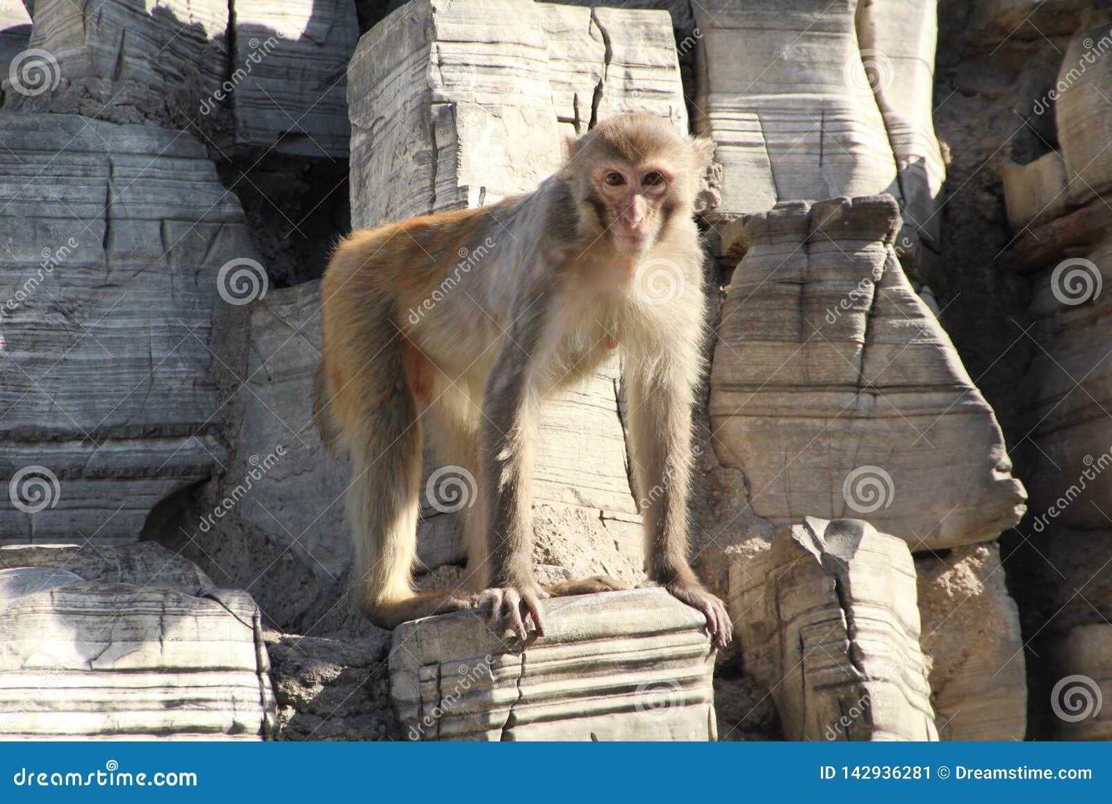 Apor på stenberget