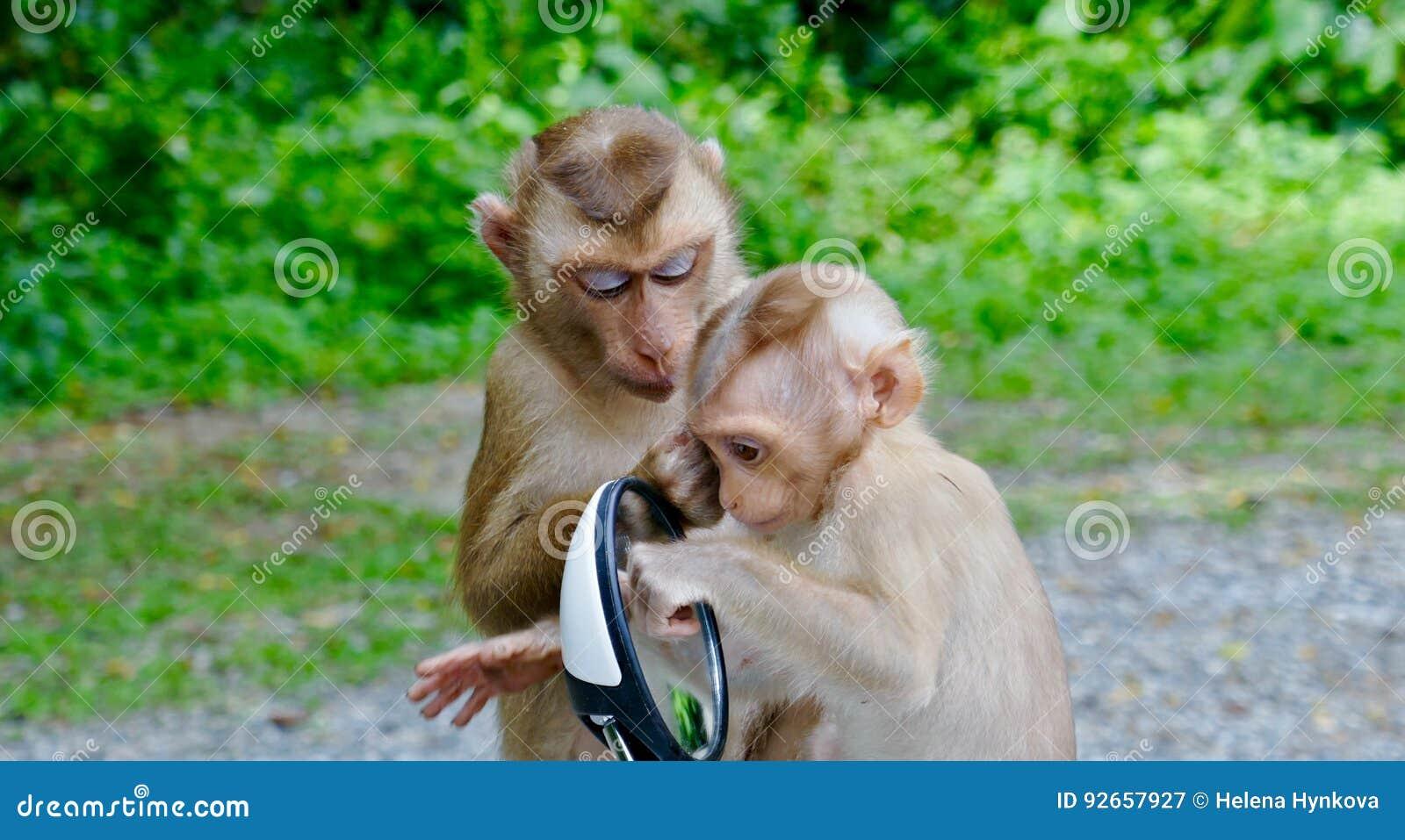 Apor som spelar med spegeln