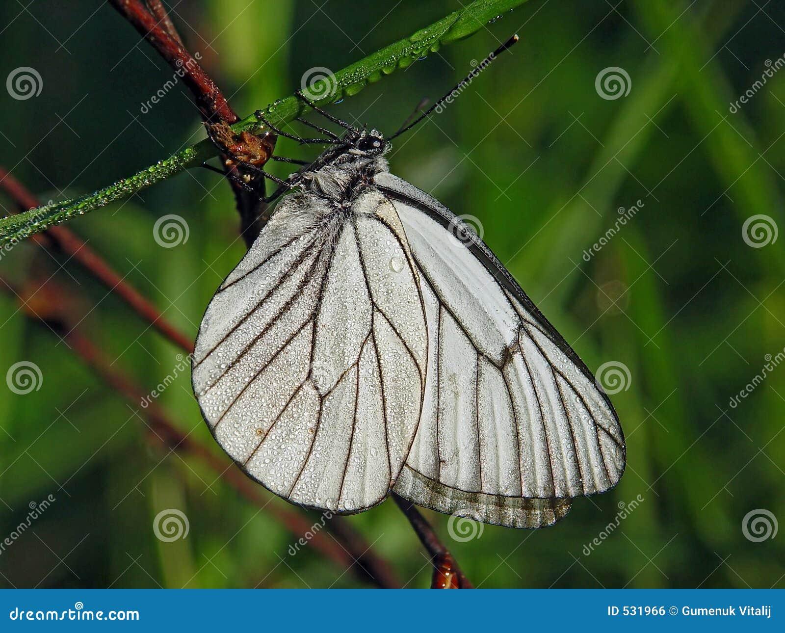 Download Aporia crataegi 库存照片. 图片 包括有 草甸, 早晨, 空白, 柔软, 下落, 夏天, 露水 - 531966