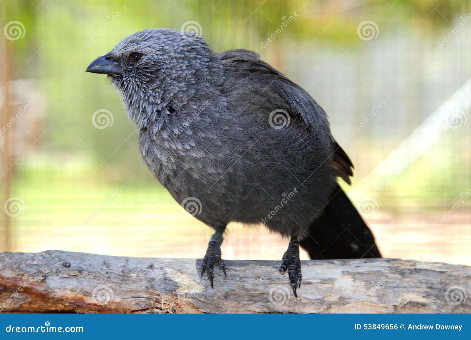 Apostle Bird with attitude