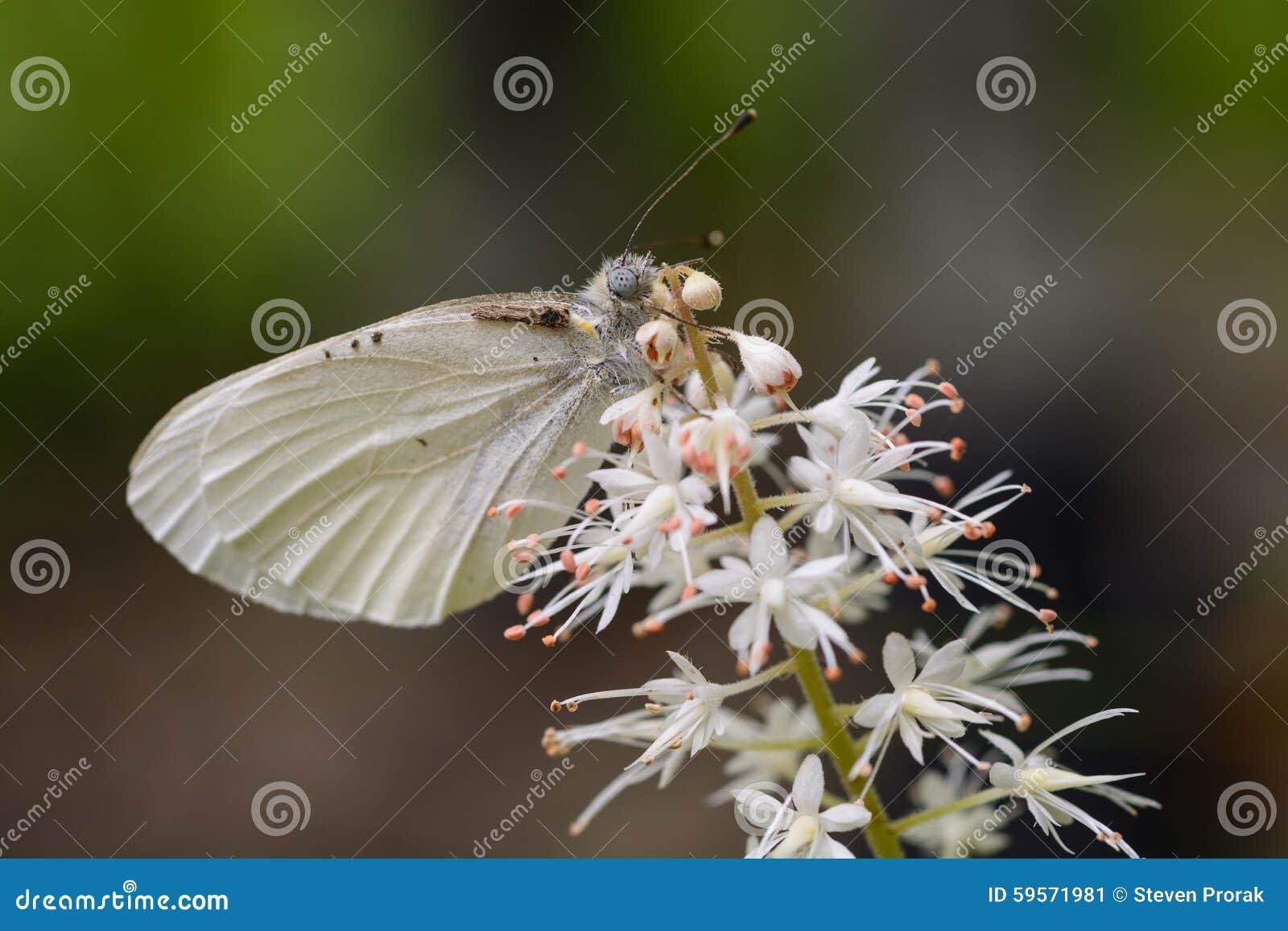 Appalachian Azure Butterfly em um Wildflower