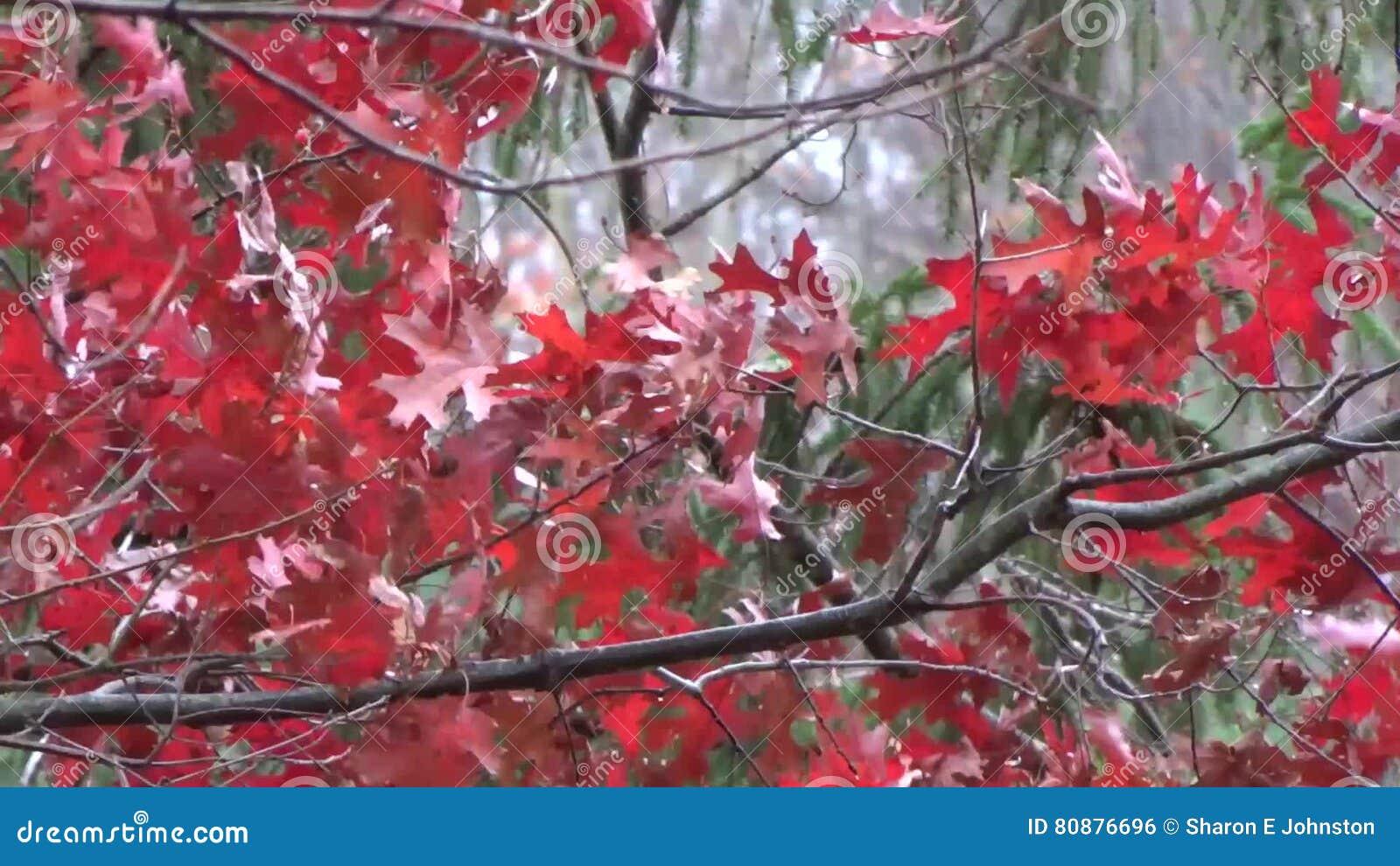 appalachian fall oak tree leaves wind snow red green stock