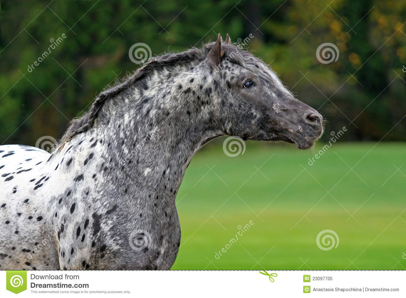 Appaloosa Horse Stock Image Image Of Horse Spot Farm 23097705