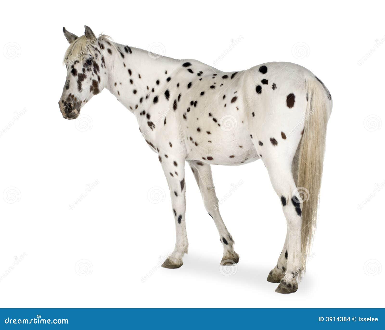 Appaloosa Horse Stock Photo Image Of Stallion Appaloosa 3914384