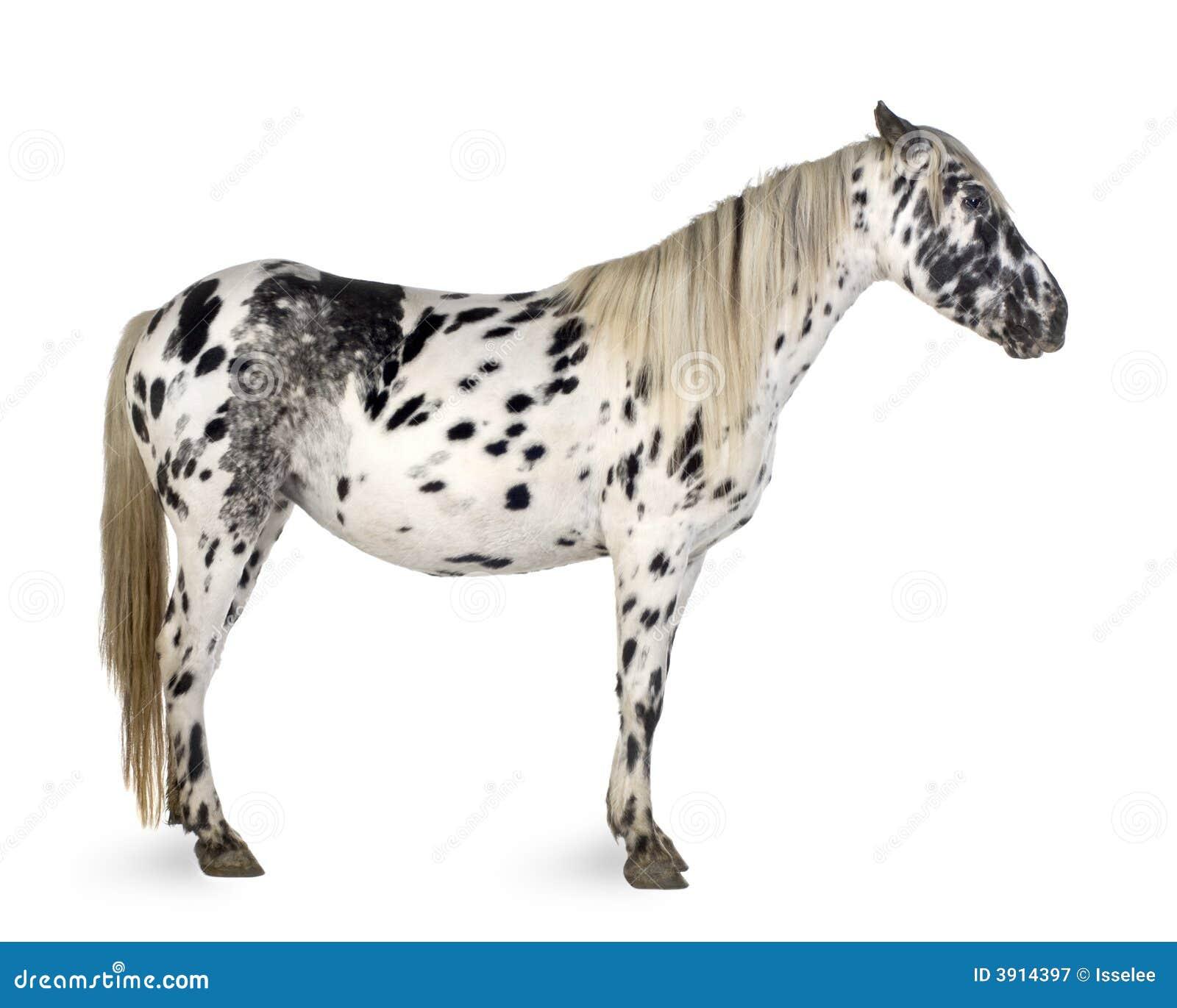 Appaloosa Horse Stock Image Image Of Mammal Hoof Background 3914397