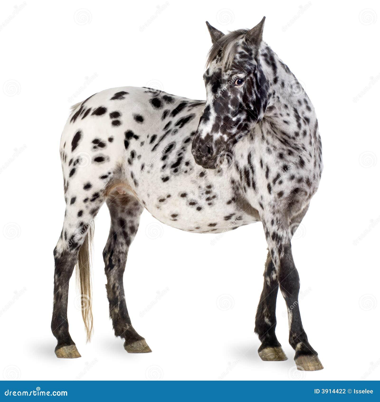 Appaloosa Horse Stock Photo Image Of Grey Gray Appaloosa 3914422