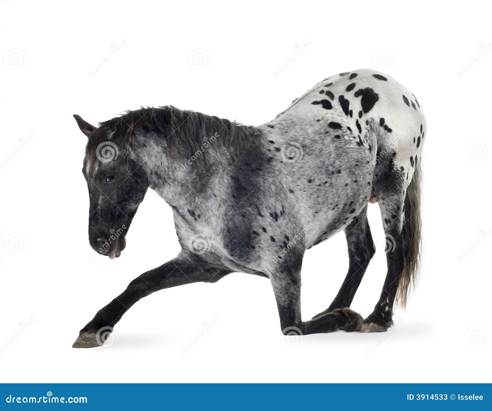 appaloosa horse stock image image of livestock acting 3914533