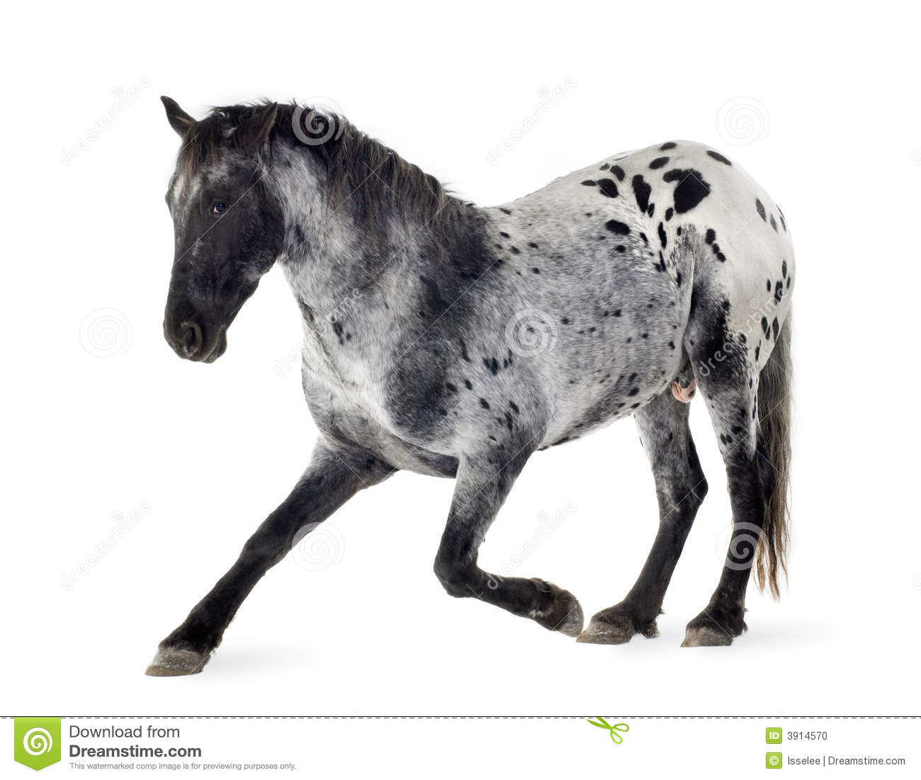 Appaloosa Horse Stock Photo Image Of Gray Animal Perform 3914570
