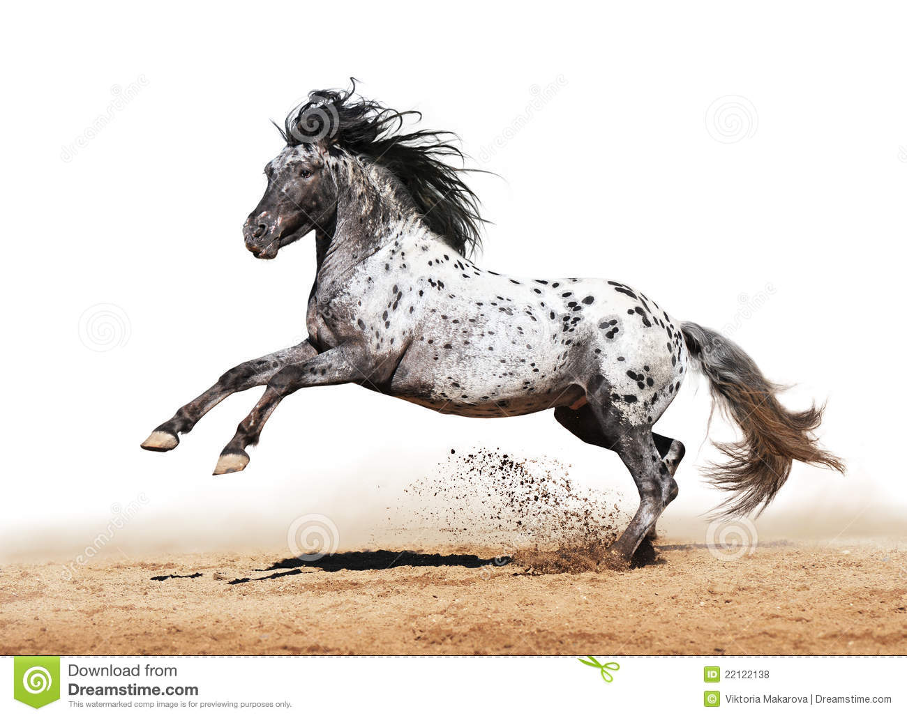 Appaloosa Horse Play In Summer Stock Photo Image Of Altay Beam 22122138