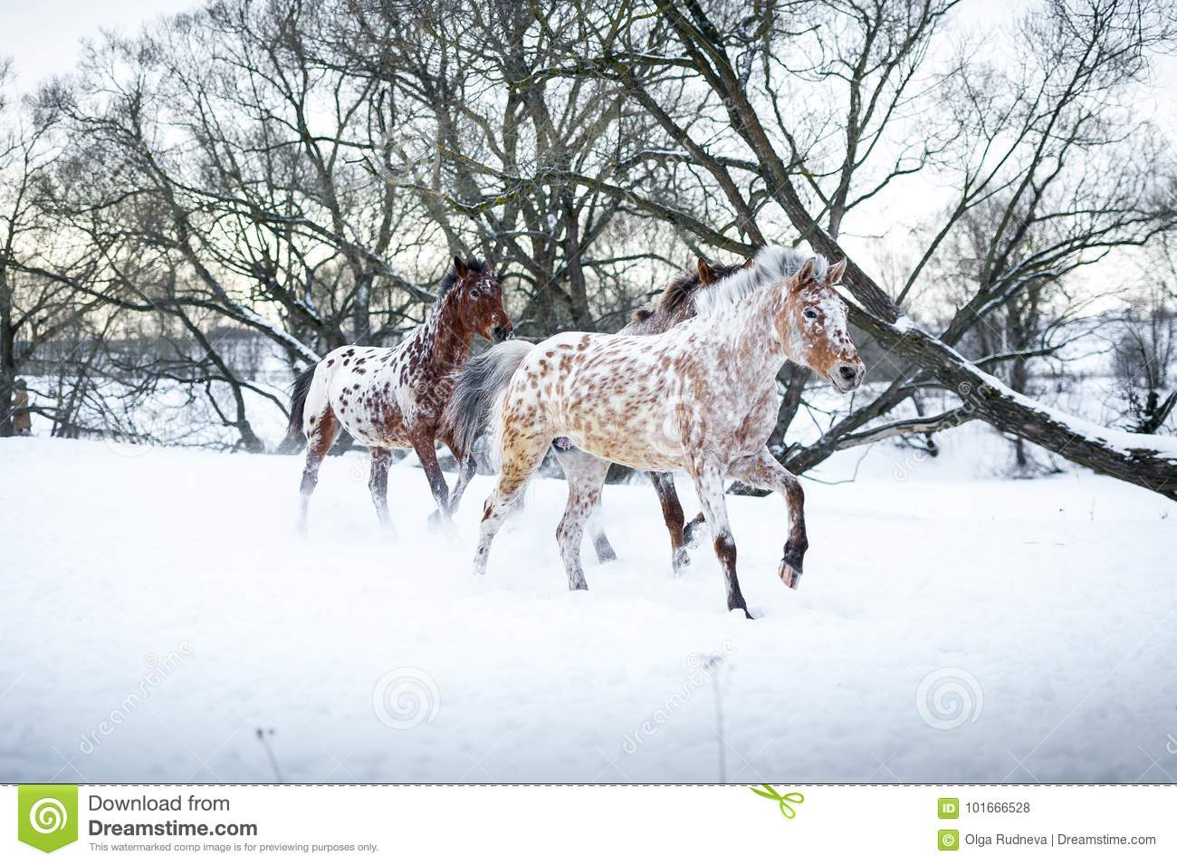Appaloosa Horses Running Gallop In Winter Forest Stock Photo Image Of Equestrian Chestnut 101666528