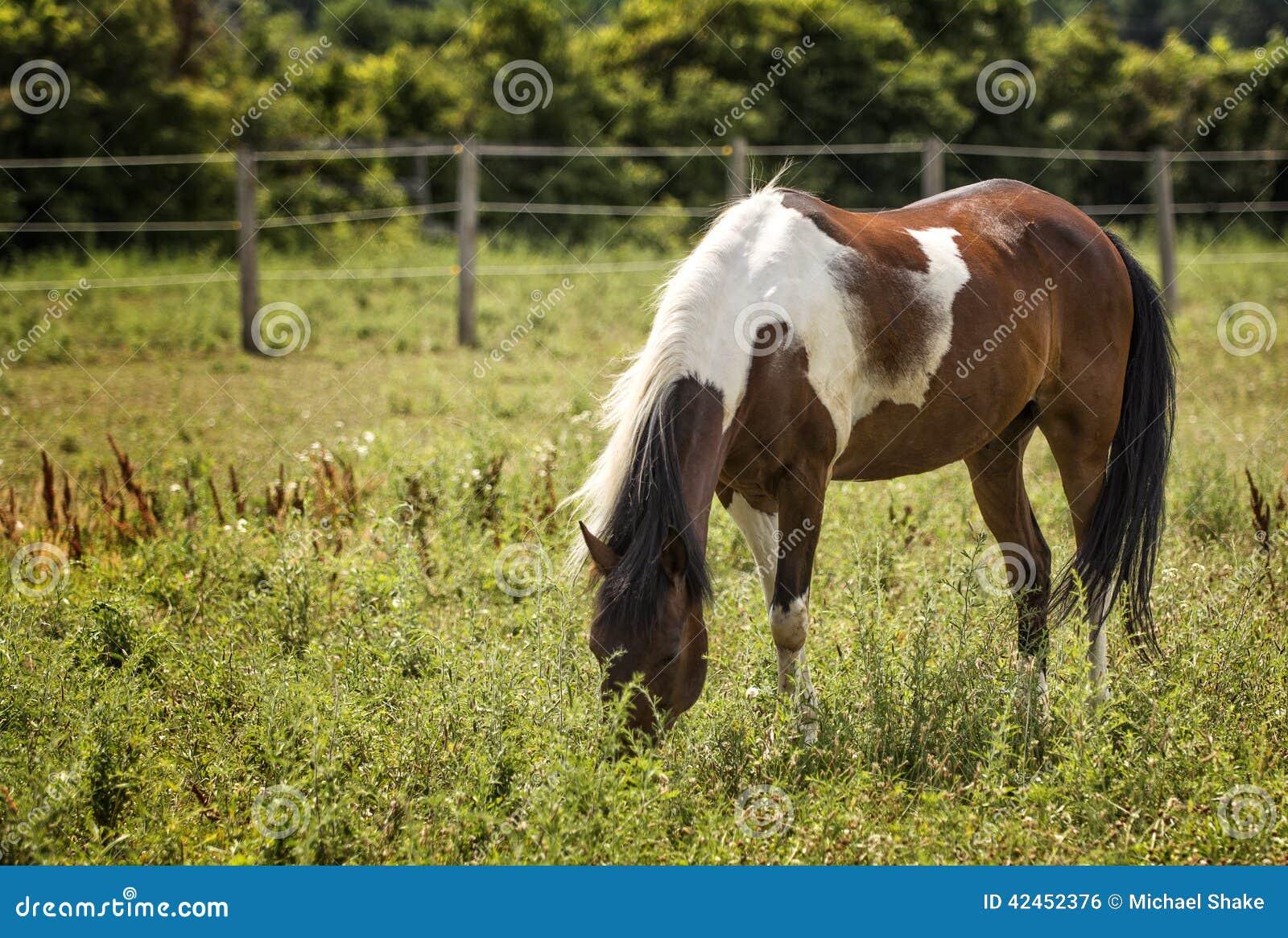 Appaloosa-Pferd in einer Weide