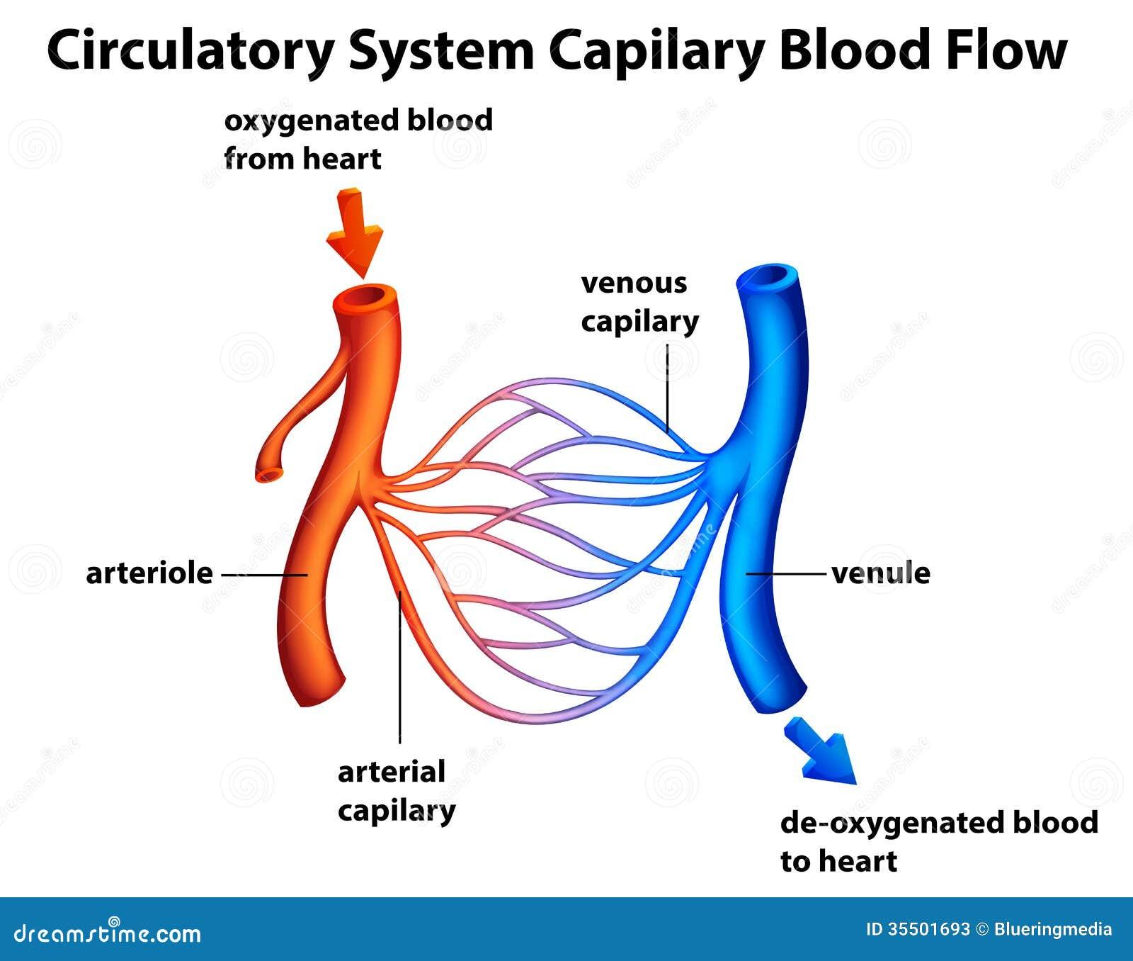 Apparato circolatorio - flusso sanguigno di Capilary