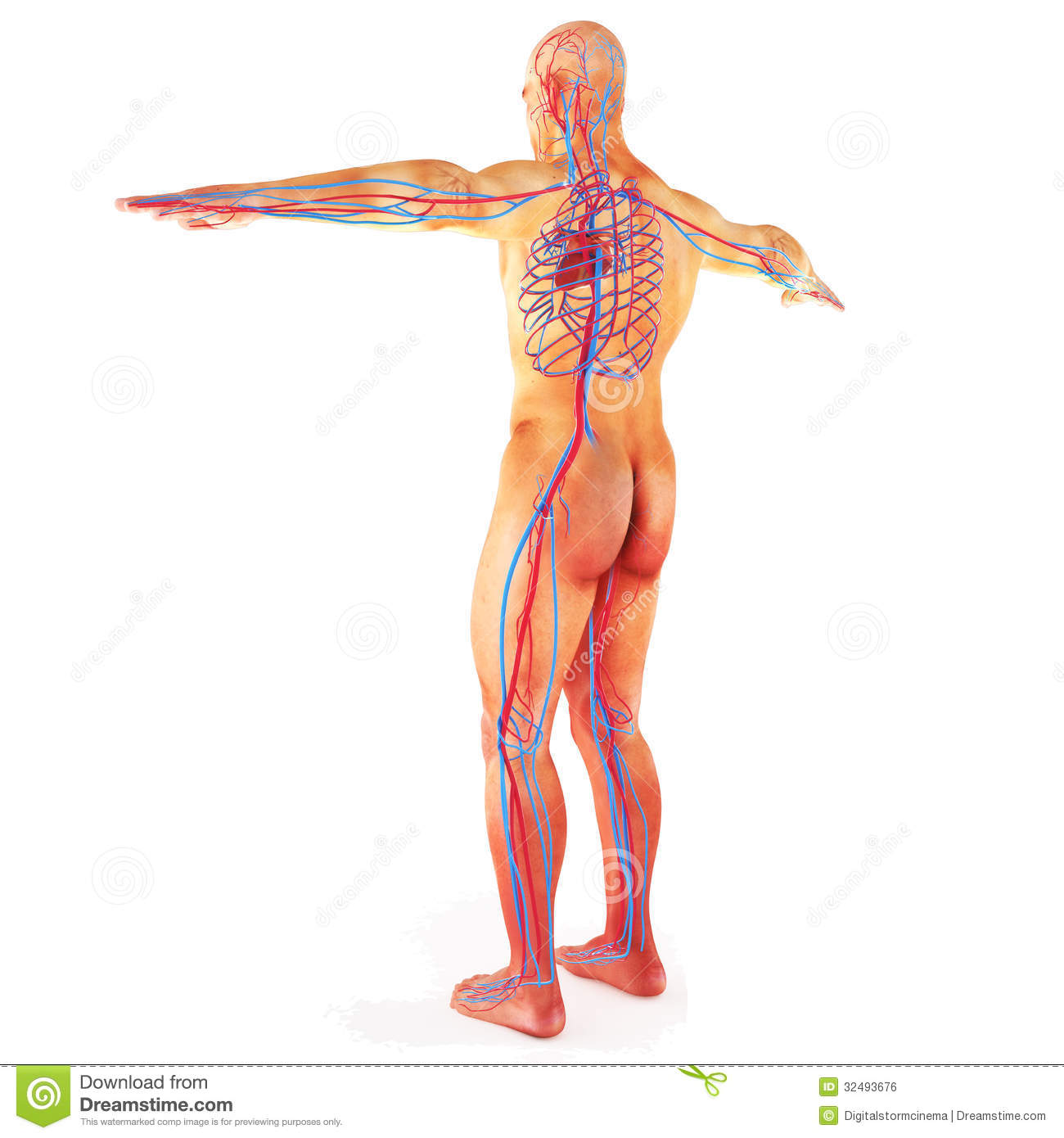 Vesalius as well 3d Male Lymphatic System furthermore Broccoli Magic also Female Enternal Reproductive System Anatomy External Female Reproductive System Diagram External Female 2 moreover Digestive System Of Human Diagram Digestive System Colored Diagram Meaning Of Digestive System From. on human circulatory system