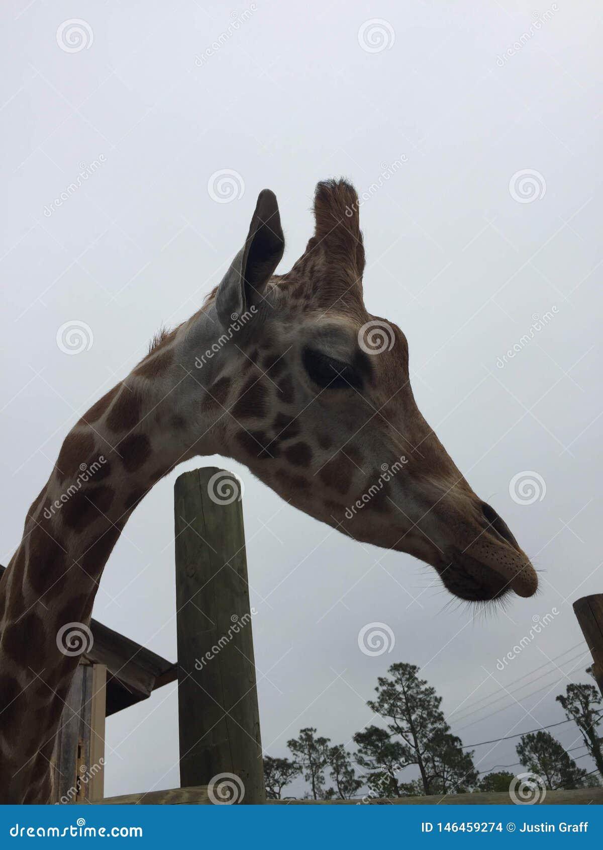Appareillez des girafes dans un stylo en bois ?tant aliment? la laitue avec la t?te approchant la grande nature de cam?ra tir?e a
