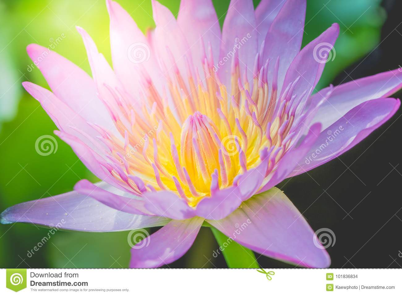 The appearance of a purple lotus flower is a beautiful stock photo the appearance of a purple lotus flower is a beautiful symbol of buddhism mightylinksfo