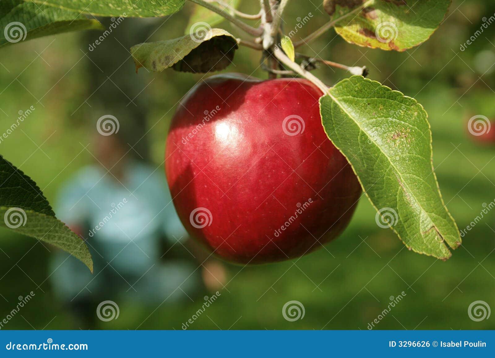 Appel in een boom