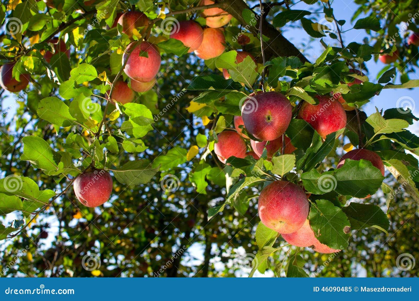 Appelen op boom