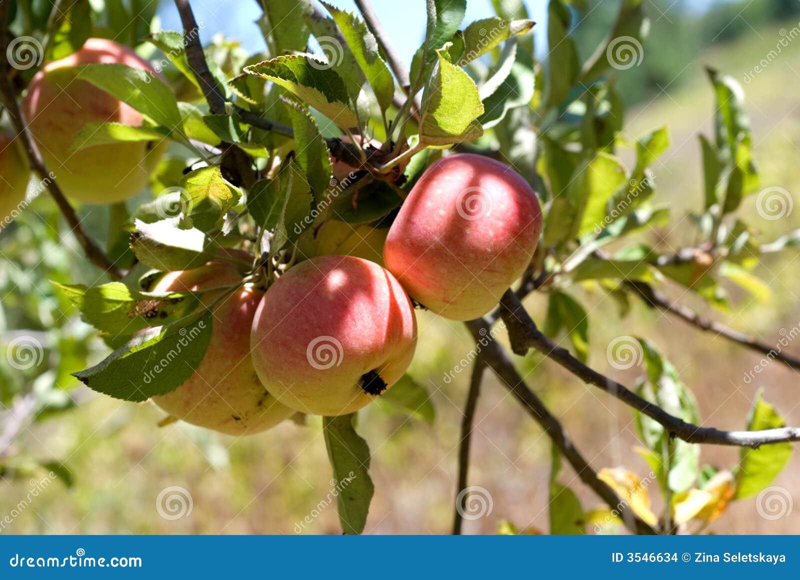 Appelen op de boom