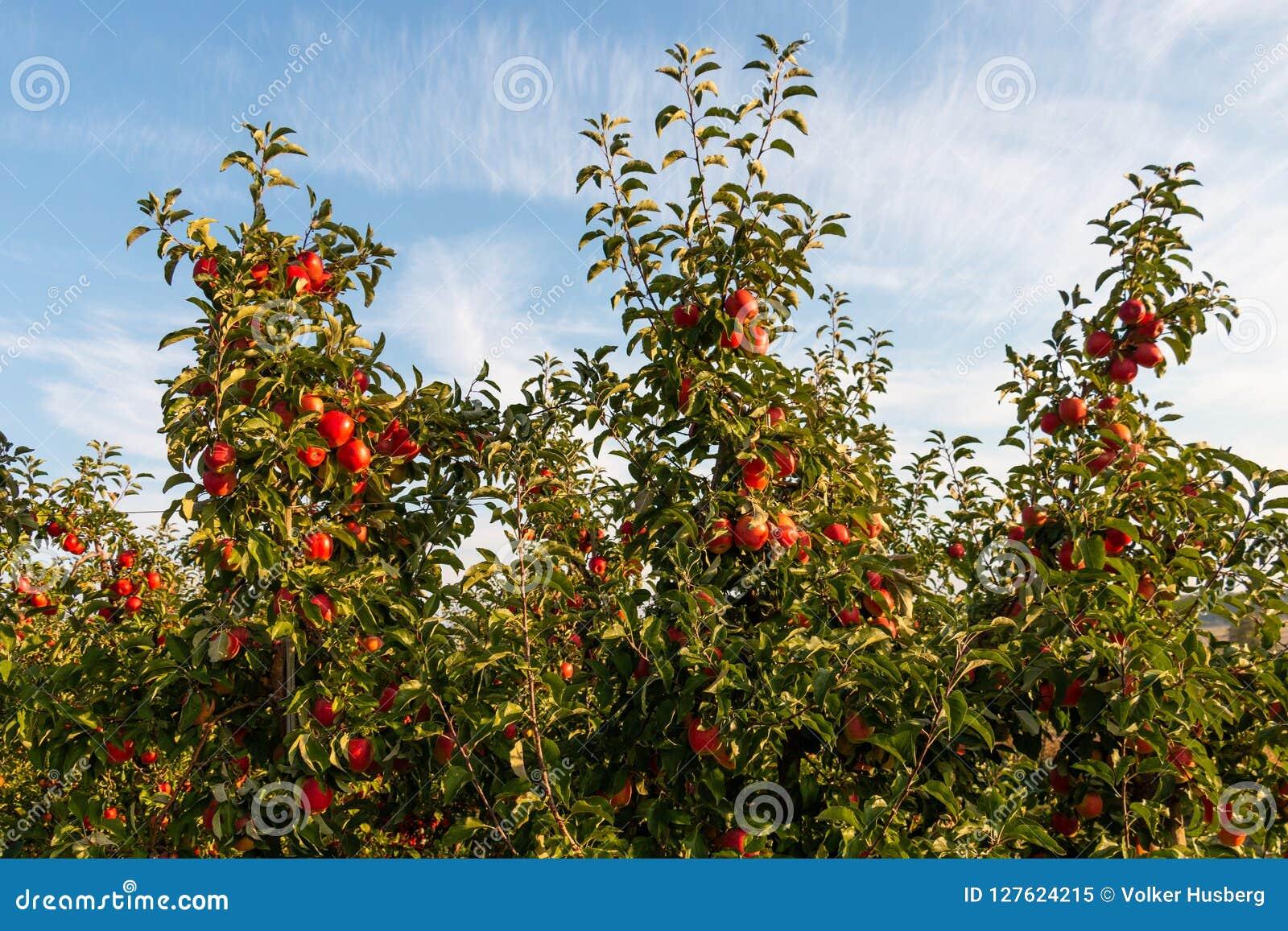 Appelen op gecultiveerde appelbomen