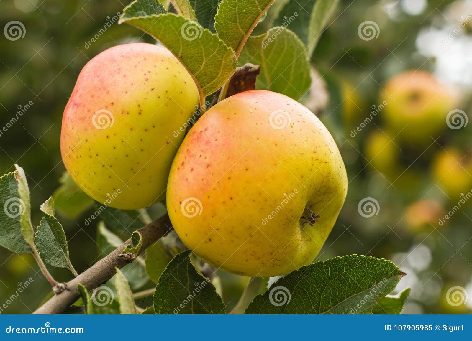 Appelenwinterappel op de Boom