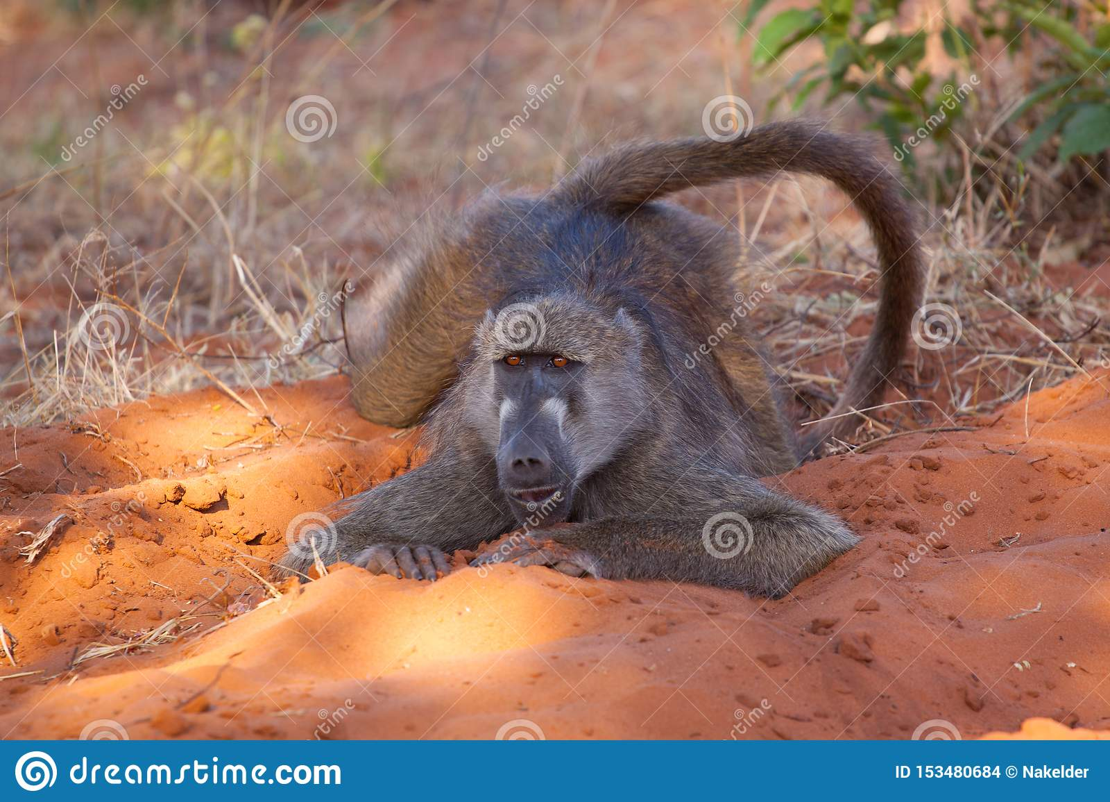 Appena un babbuino che raffredda nel parco nazionale di Chobe, Botswana