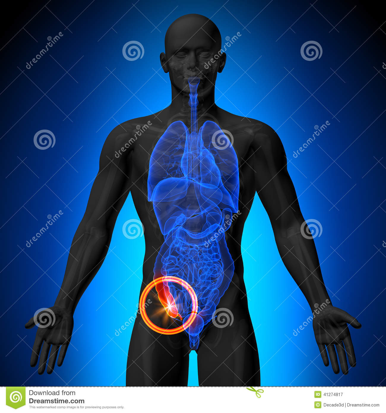 ... Illustration: Appendix - Male anatomy of human organs - x-ray view