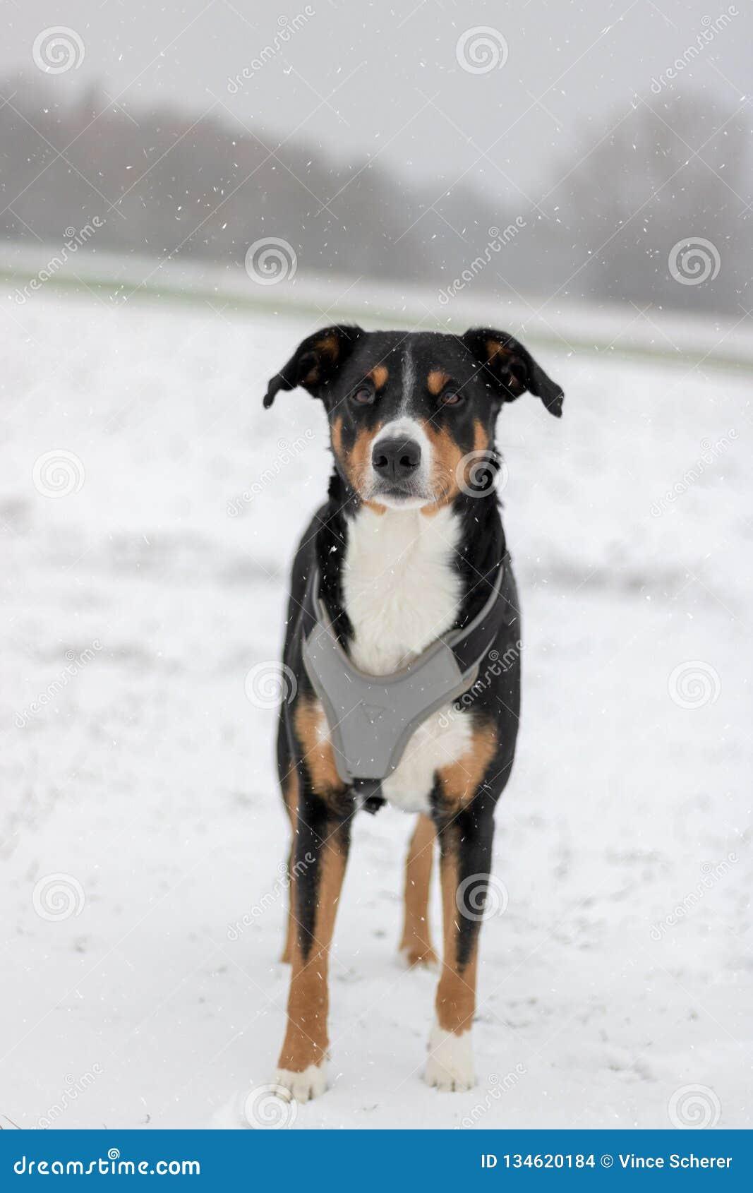 Appenzeller góry psa portret w zimie