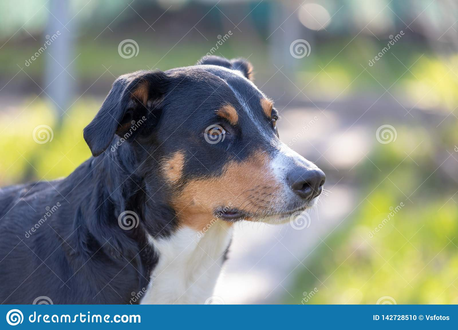 Appenzeller Mountain Dog, portrait of a dog close-up.  stock photo