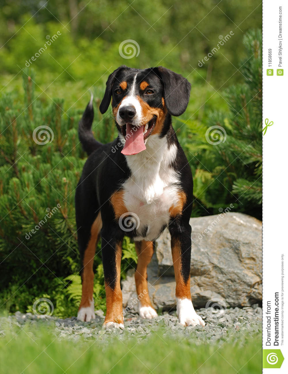 The Appenzeller Sennenhund Stock Image Image Of White